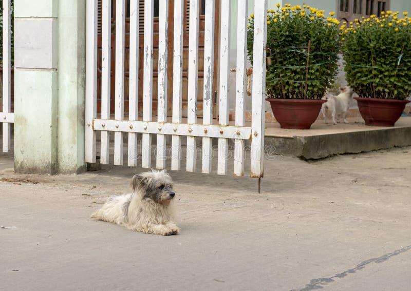 Piccoli cani e fiori gialli per la celebrazione Tet nel villaggio Phuong Nam nel Vietnam immagine stock libera da diritti