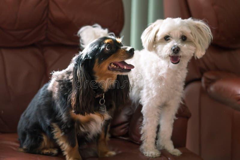 Piccoli cani svegli su uno strato con i fronti felici immagini stock libere da diritti