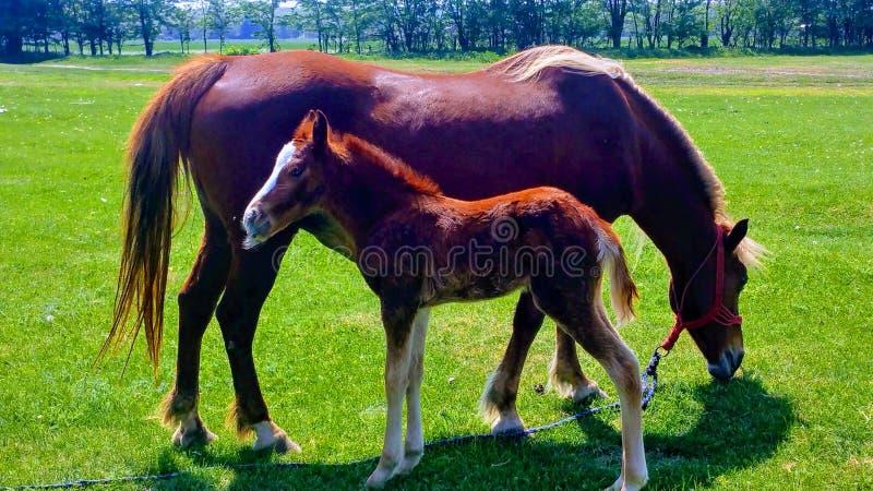 Piccoli cavallo e madre fotografia stock libera da diritti