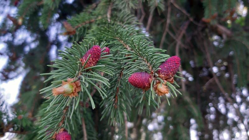 Piccoli coni di abete in primavera fotografia stock