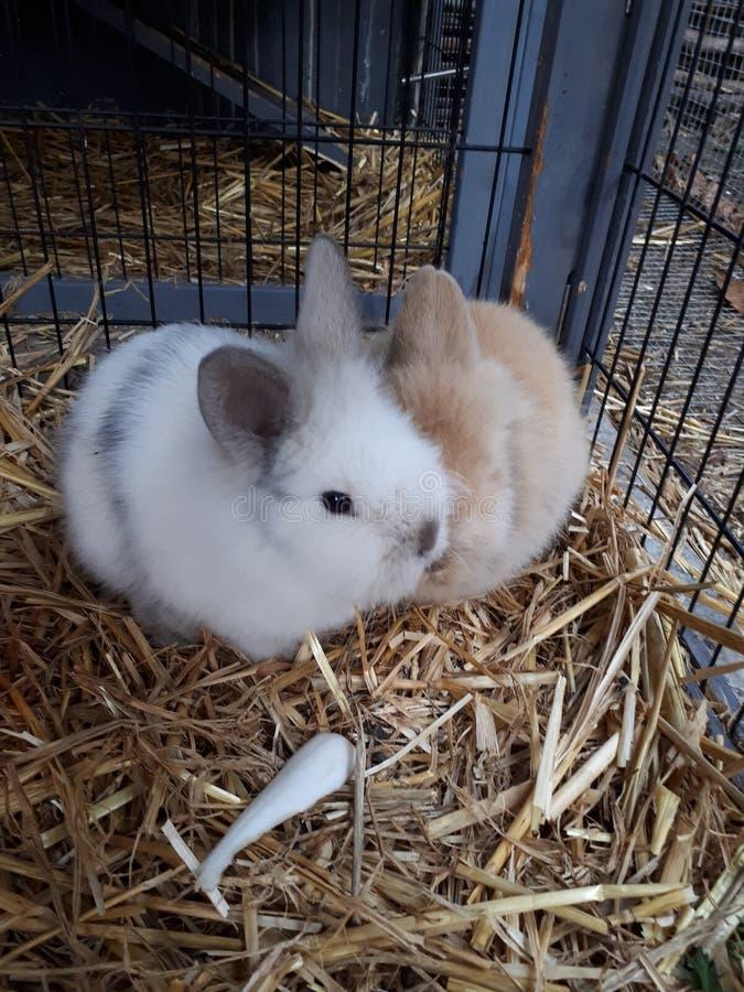Piccoli conigli immagine stock
