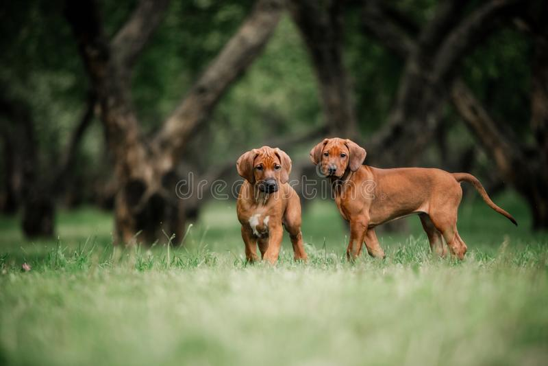 Piccoli cuccioli adorabili di Rhodesian Ridgeback che giocano insieme nel giardino fotografia stock libera da diritti
