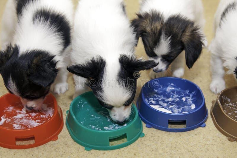 Piccoli cuccioli Papillon che mangia cagliata fotografia stock libera da diritti