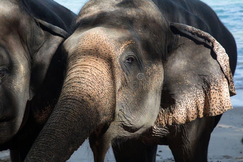 Piccoli elefanti svegli alla spiaggia fotografie stock