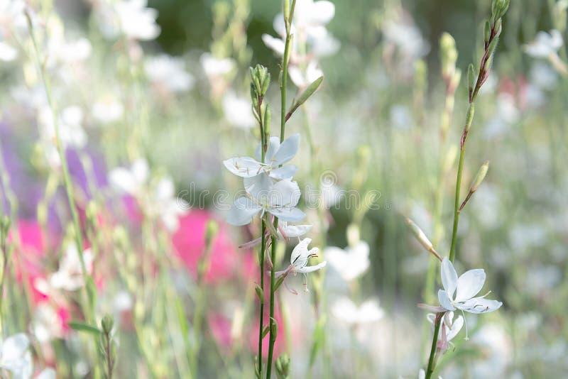 Piccoli fiori bianchi contro lo sfondo di un campo di fioritura immagine stock libera da diritti