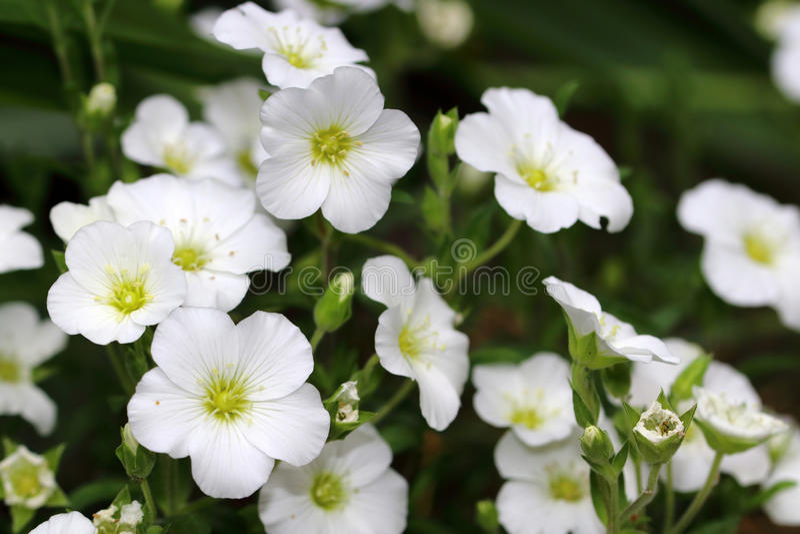 Piccoli fiori bianchi del tomentosum del Cerastium immagine stock libera da diritti