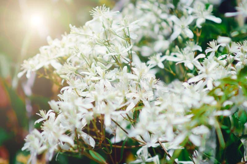 Piccoli fiori bianchi, luce solare Bello contesto di estate fotografia stock libera da diritti