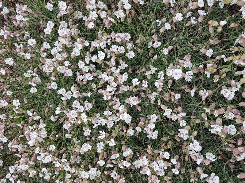 Piccoli fiori bianchi nella campagna fotografia stock