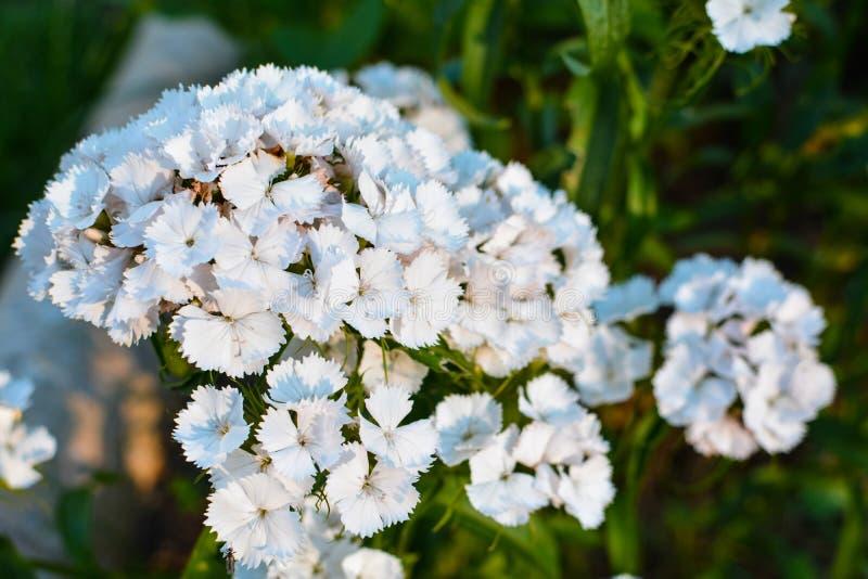 Piccoli fiori bianchi su un fondo verde immagini stock