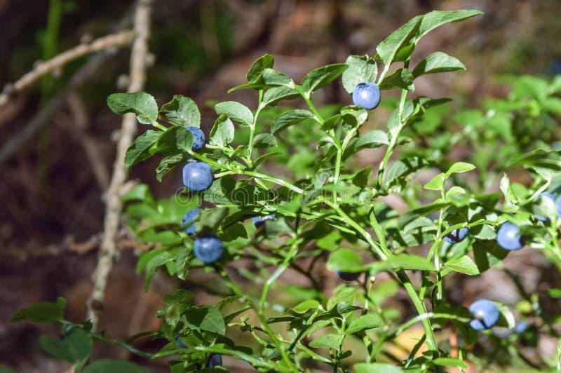 Piccoli fiori blu e la pianta su cui stanno sviluppando fotografia stock libera da diritti