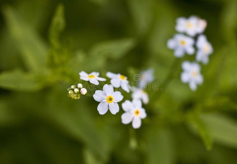 Piccoli fiori blu su fondo verde, myosotis fotografia stock