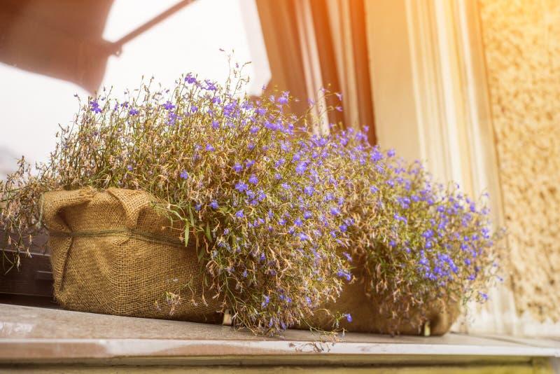 Piccoli fiori blu in vasi del tessuto in una finestra del negozio fotografie stock libere da diritti