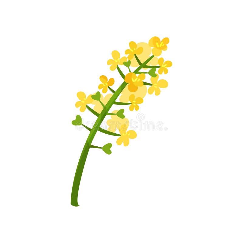 Piccoli fiori luminoso-gialli sul gambo verde Tema floreale Pianta di fioritura Elemento per il concetto circa olio di colza pian illustrazione di stock