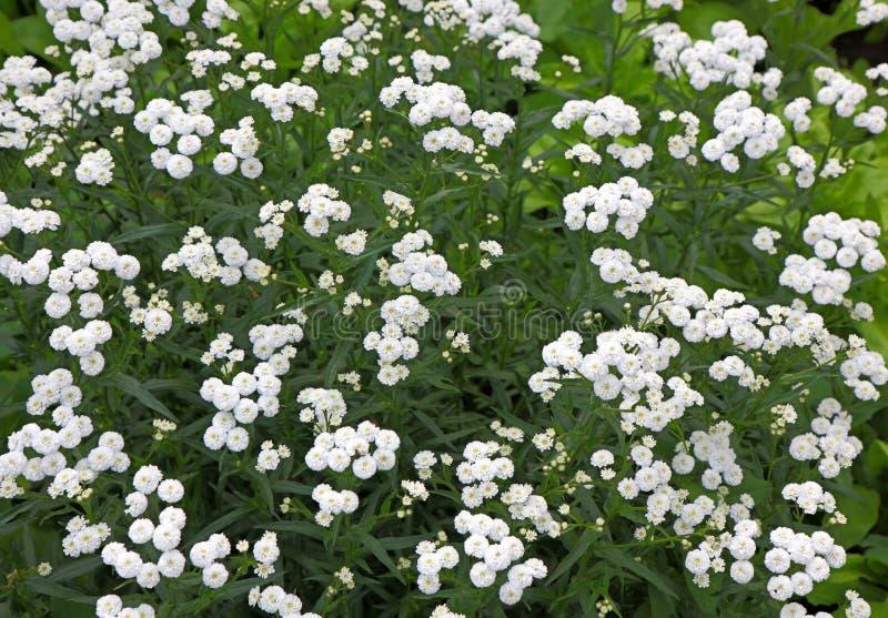 Piccoli fiori perenni bianchi del cespuglio immagine stock for Fiori perenni
