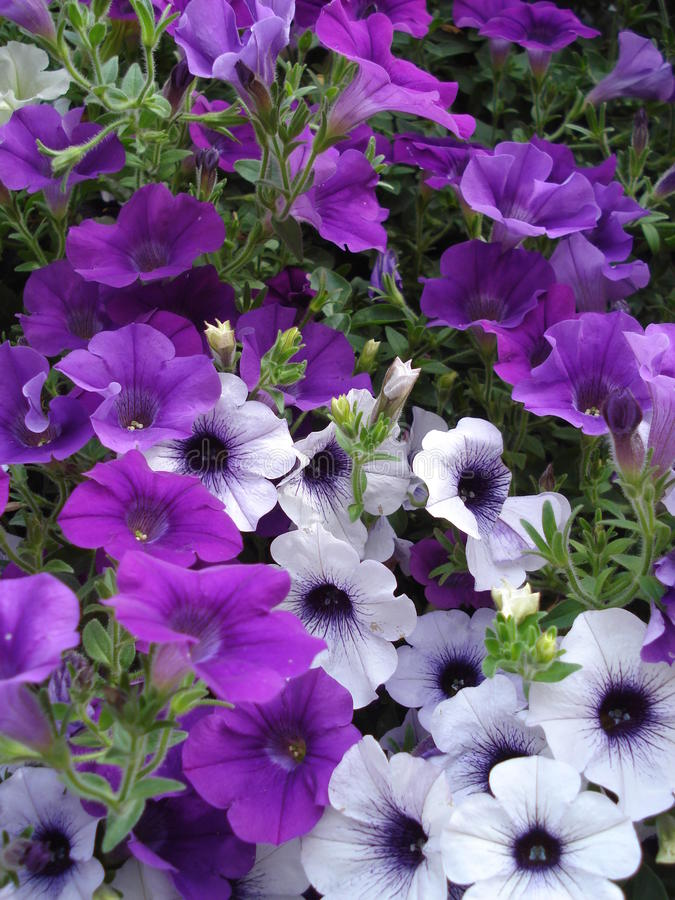 Piccoli fiori porpora e bianchi della petunia fotografia stock libera da diritti