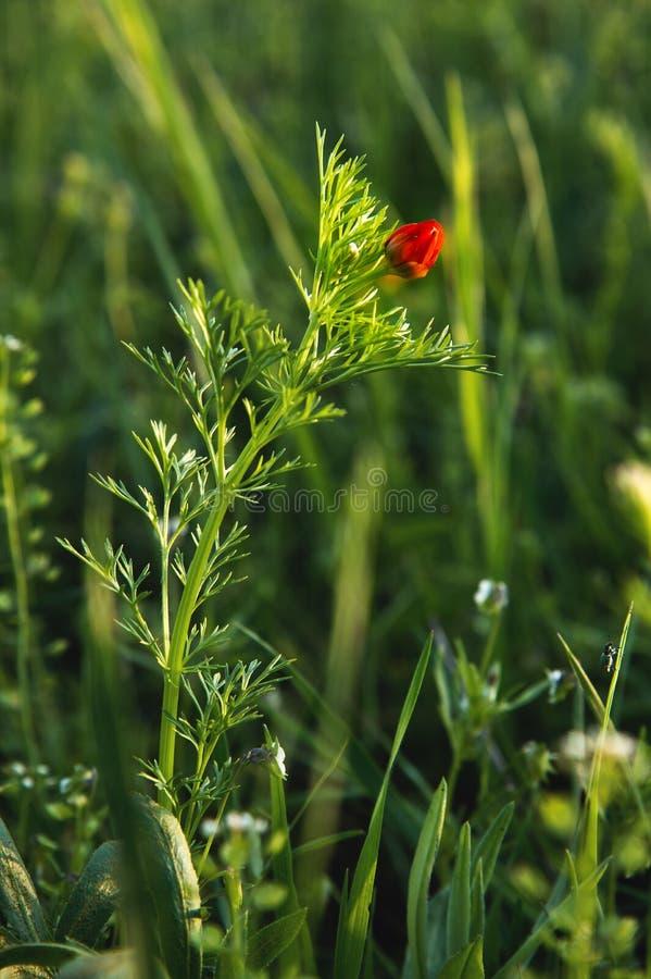 Piccoli fiori rossi del papavero selvatico in erba verde al tramonto sul fondo del bokeh Fuoco selettivo immagini stock libere da diritti