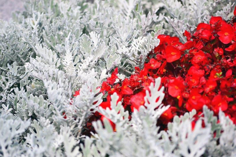 Piccoli fiori rossi fra i rami bianchi delle piante fotografia stock