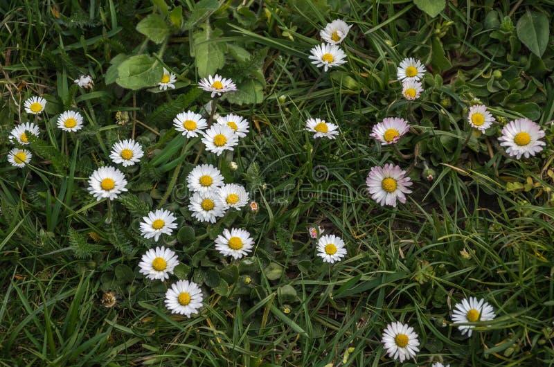 Piccoli fiori selvaggi bianchi della camomilla immagine stock libera da diritti