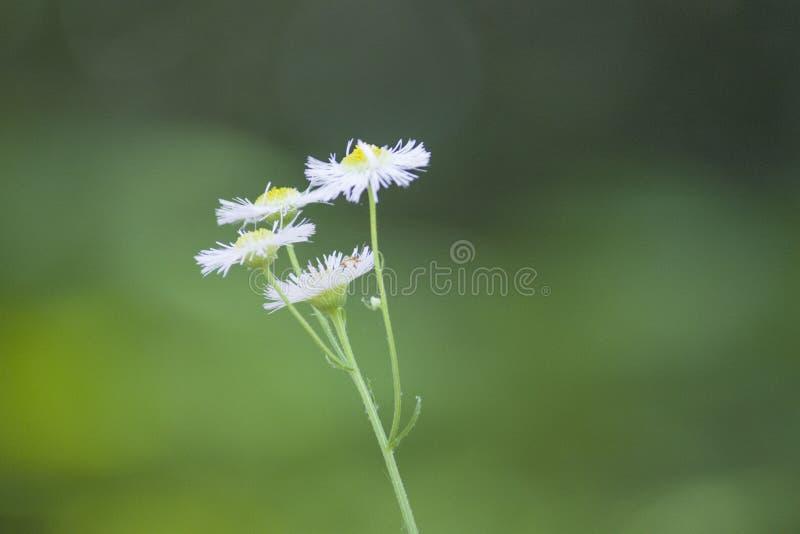 Piccoli fiori selvaggi della pianta della margherita del crisantemo fotografia stock libera da diritti