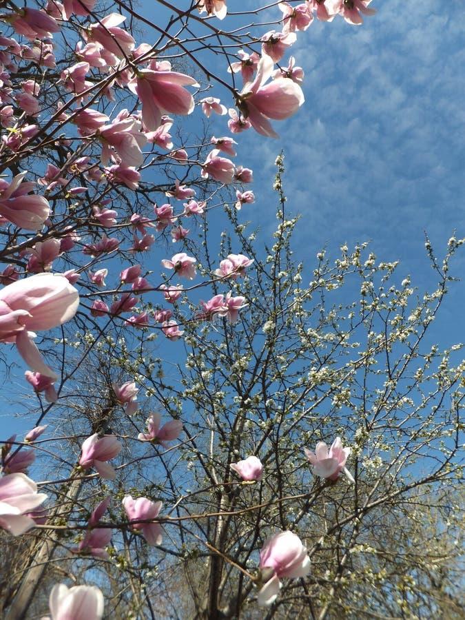 Piccoli franches di un albero sbocciante della magnolia con i fiori rosa soleggiati fotografie stock