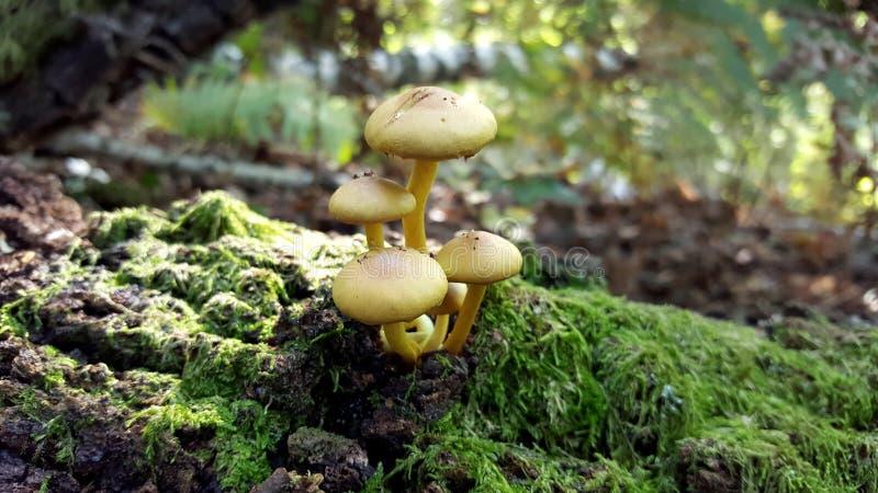 Piccoli funghi gialli immagine stock