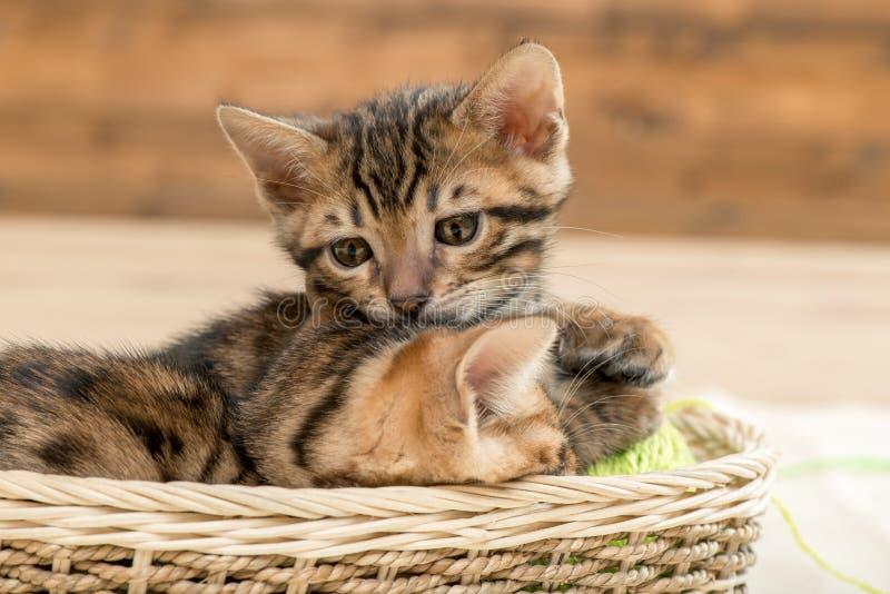 piccoli gattini a strisce marroni del Bengala in un vimine fotografia stock libera da diritti