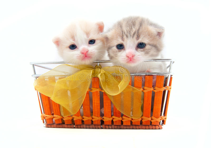 Piccoli gattini in un cestino immagine stock libera da diritti