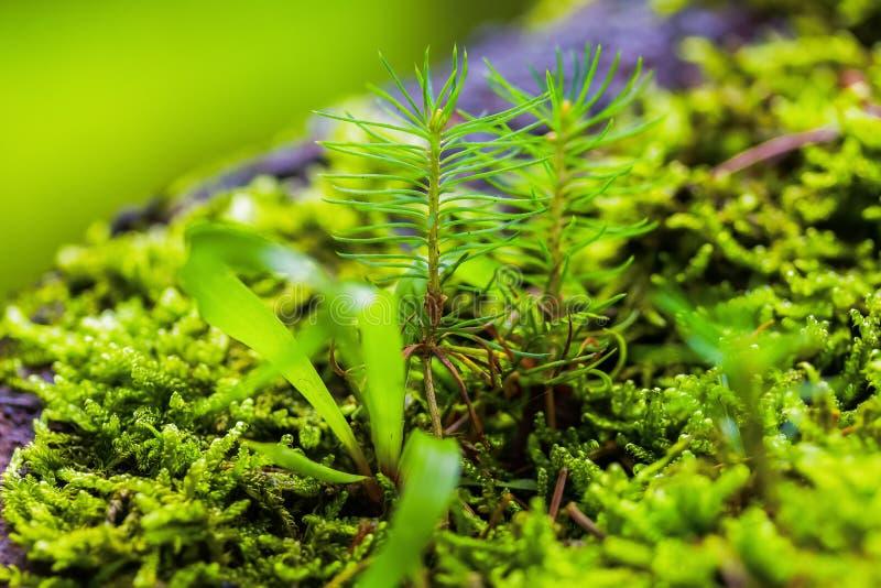 Piccoli germogli di abete rosso tra i muschi verdi freschi Concetto Ecosistema immagine stock