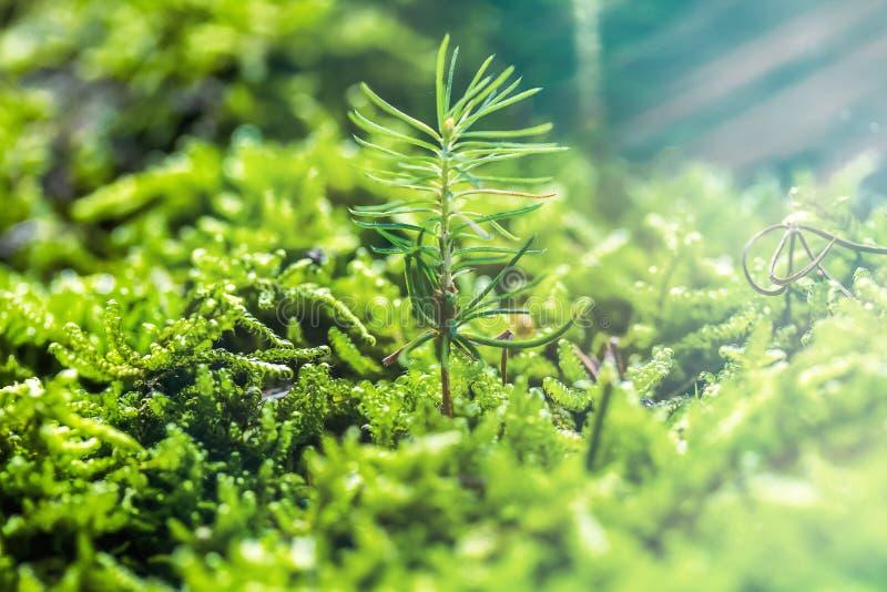 Piccoli germogli di abete rosso tra i muschi verdi freschi Concetto Ecosistema fotografia stock libera da diritti