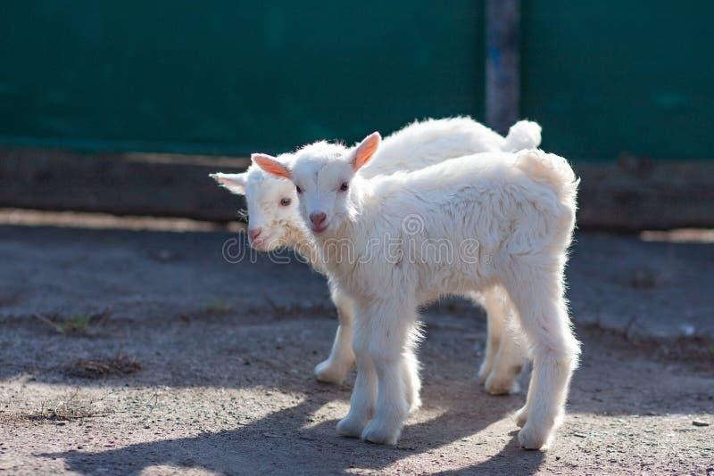 Piccoli goatlings piacevoli bianchi che esplorano il mondo immagini stock