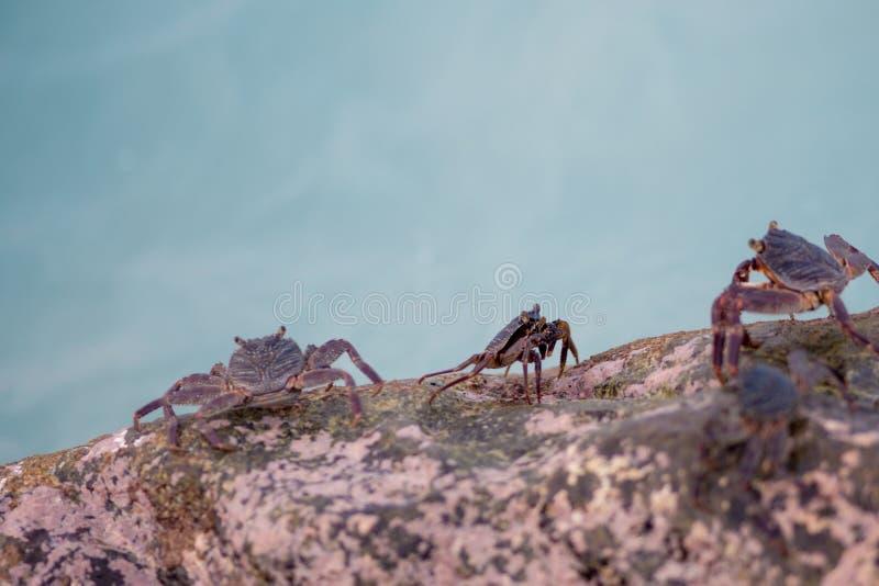Piccoli granchi che strisciano sulle rocce sulla riva fotografia stock libera da diritti