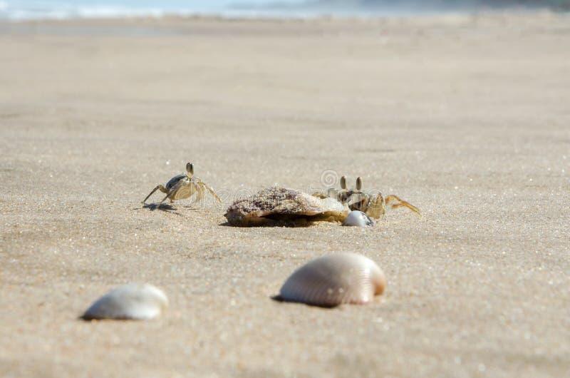 Piccoli granchi della sabbia sulla sabbia della spiaggia del mare Primo piano immagini stock