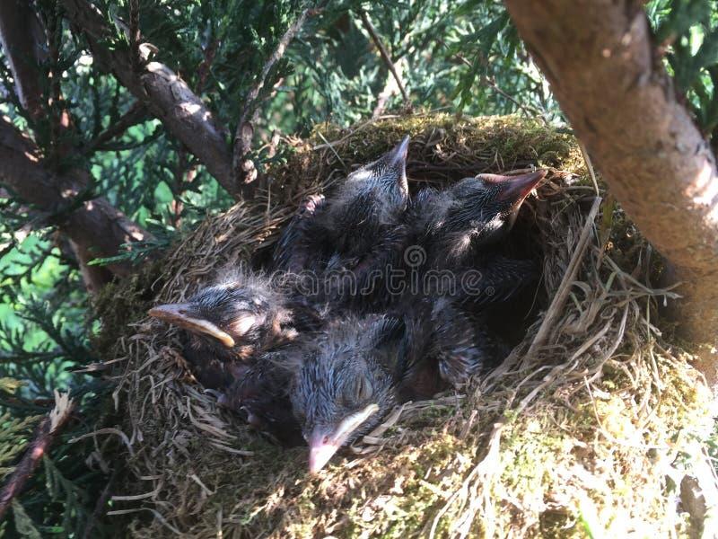 Piccoli merli in un nido!!! fotografia stock libera da diritti