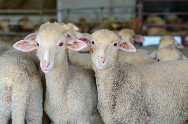piccoli pecore ed agnelli immagine stock
