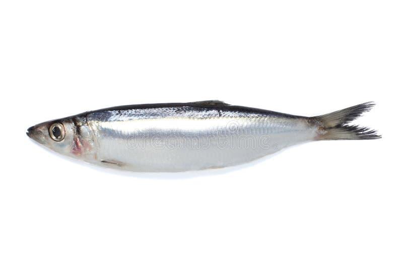 Piccoli pesci fotografie stock
