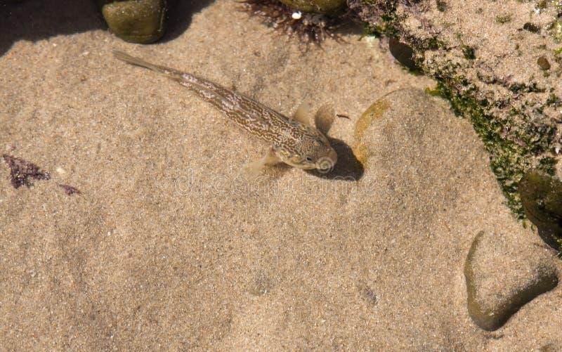 Piccoli pesci marroni in stagno sulla spiaggia fotografia for Pesci da stagno