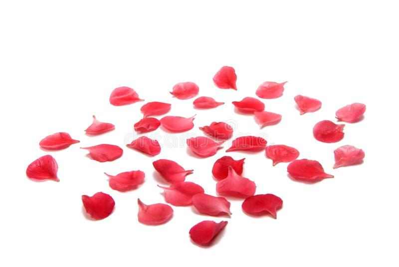 Piccoli petali rossi isolati immagini stock