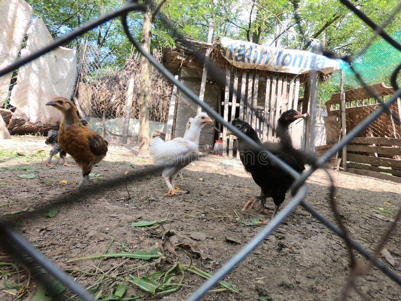 Piccoli polli e piccoli galli in un'azienda agricola organica immagine stock libera da diritti