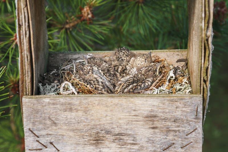 Piccoli pulcini comuni del tordo che si siedono in un interno del nido ed in una vecchia depressione di alimentazione fatta a man fotografia stock