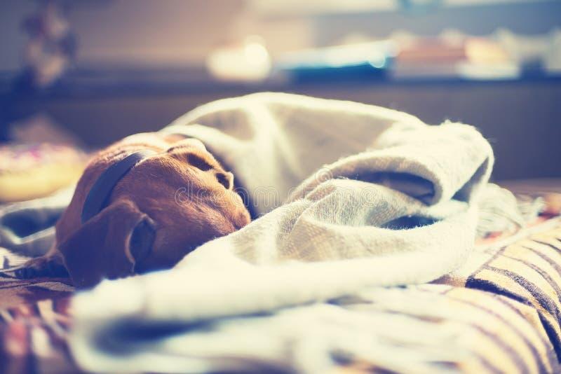 Piccoli sonni marroni del cane avvolti in una coperta immagine stock
