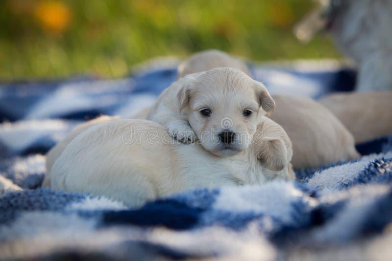 Piccoli svegli abbronzano i cuccioli che rannicchiano su una coperta a quadretti blu e bianca immagini stock libere da diritti