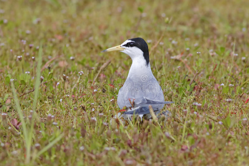 Piccoli uccelli dei albifrons di Sternula della sterna della Tailandia fotografie stock libere da diritti