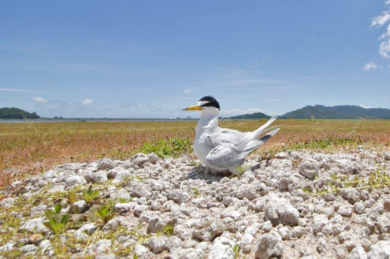 Piccoli uccelli dei albifrons di Sternula della sterna della Tailandia fotografie stock