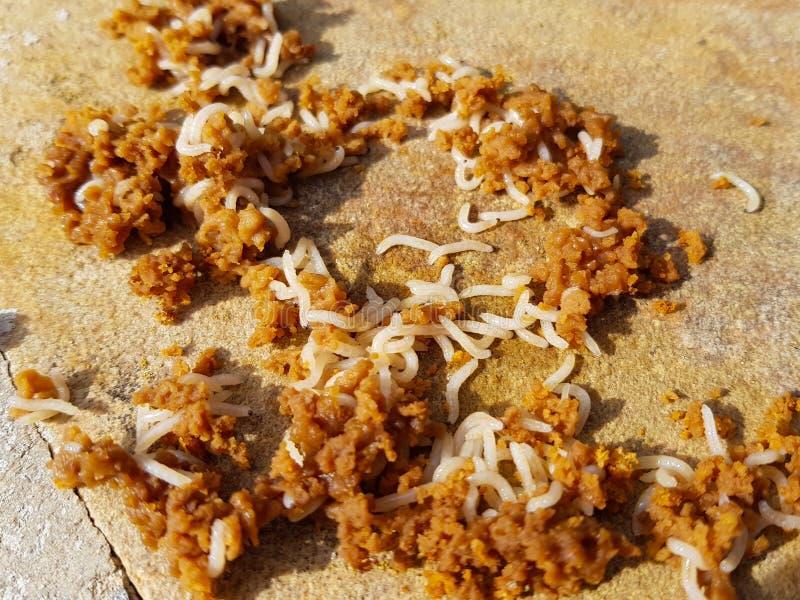 piccoli vermi bianchi che mangiano materia marrone nella decomposizione fotografie stock libere da diritti