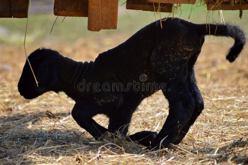 Piccolo agnello neonato fotografia stock libera da diritti