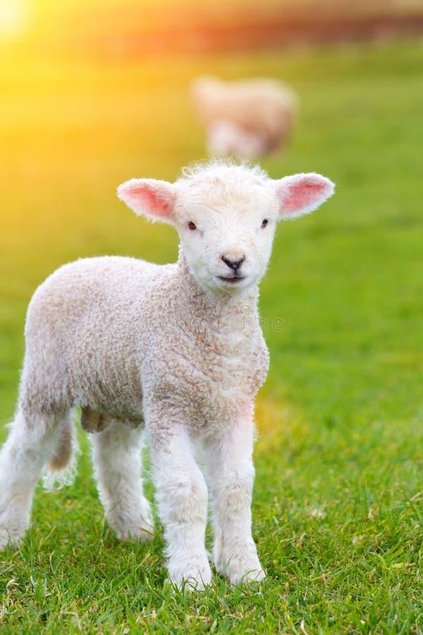 Piccolo agnello sveglio che saltella in un prato in un'azienda agricola fotografia stock