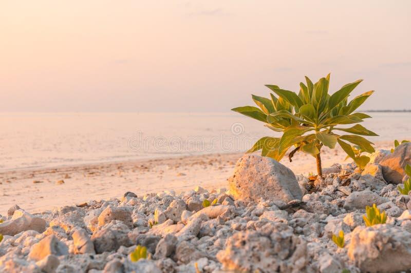 Piccolo albero che cresce sulla spiaggia delle Maldive vicino all'oceano Argentea di Tournefortia, foertherianum di heliotropium fotografie stock libere da diritti