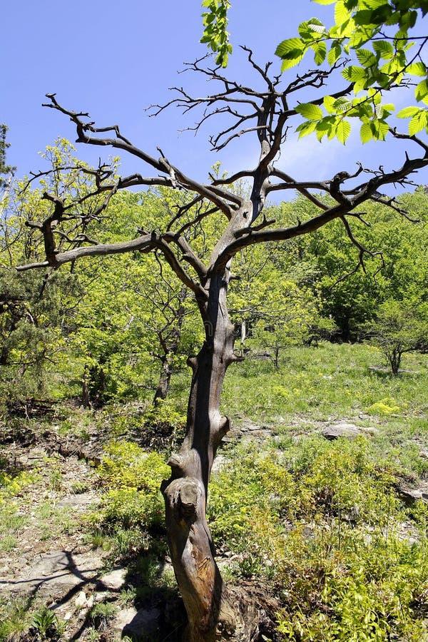 Piccolo albero con i rami nudi fotografia stock libera da diritti