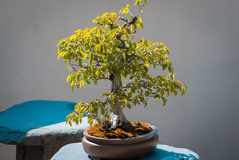 Piccolo albero dei bonsai sull'esterno dell'esposizione nei giardini giapponesi a Grand Rapids immagine stock libera da diritti
