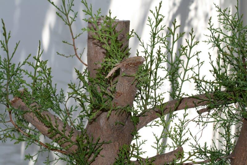Piccolo albero di cedro fotografie stock